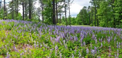 Field of Wild Blue Lupine