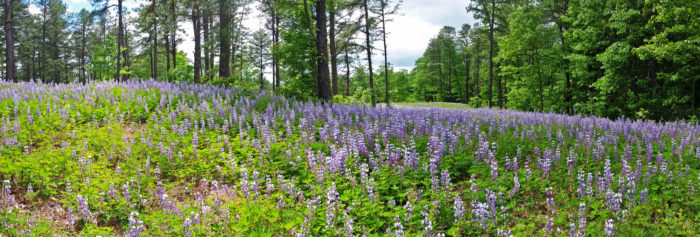 Field of Wild Blue Lupine