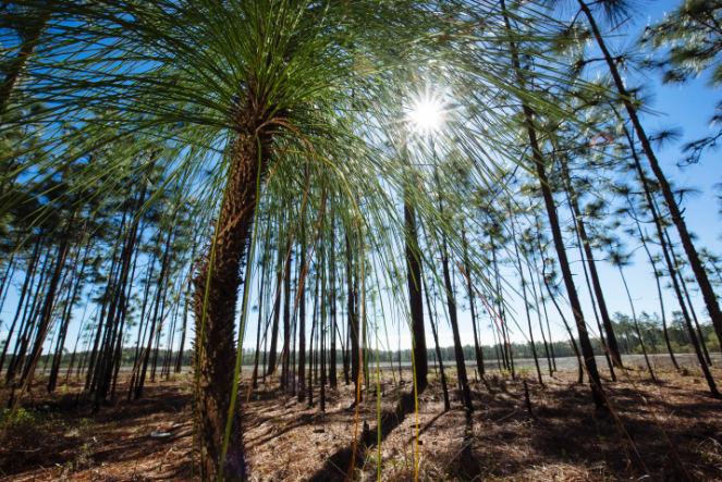 The property, which adjoins the Francis Marion National Forest, will protect invaluable longleaf pine habitat (pictured) while protecting sensitive wetlands and headwaters of the Wando River.