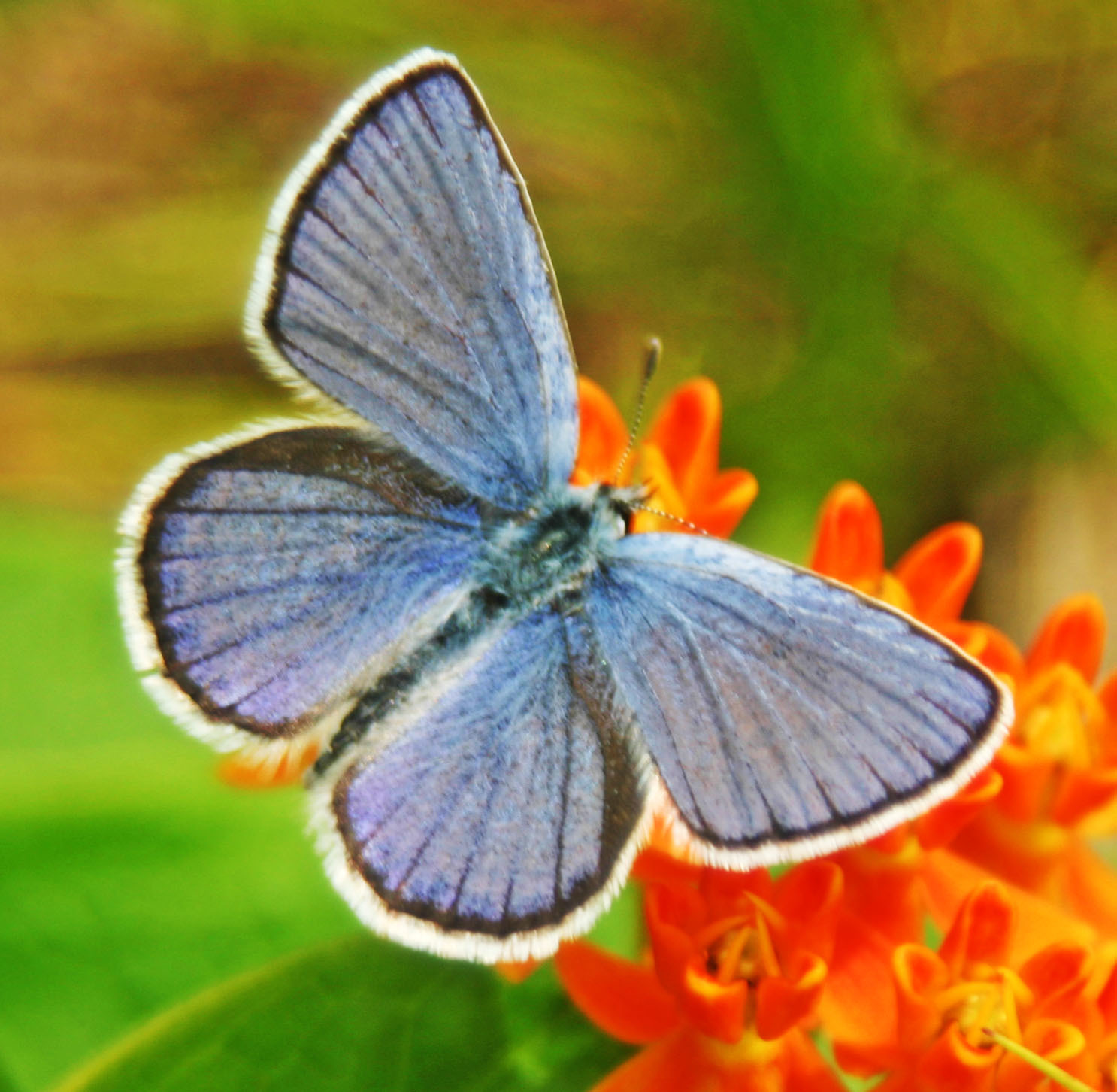Male Karner Blue butterfly