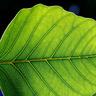 TRSB18 Leaf Icon