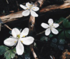 an image of three small white flowers against a dark background