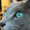 Close up on profile of a russian blue cat with grey fur and green eyes