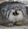 close up face of a sneezing pallas cat