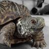 A desert box turtle (Terrapene ornata luteola)