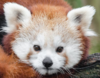 A Very Cute Red Panda, totally not a selfie, definitely just a random red panda