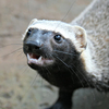 A small black and white weasel with an open mouth grinning upwards at the camera.