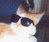 Rad ginger cat, wearing sunglasses.