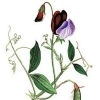 Lathyrus odoratus Cupani's: the original Sweet Pea