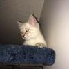 Skyyfall Kitten
