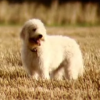 Top Gear Dog in a field looking adorable.