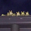 Seven frogs in a roof gutter, seen from below at nighttime. Their eyes reflect the flash of the camera.