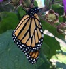 a monarch butterfly resting on the branch of a wild rose