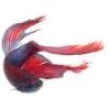 Picture of a betta fish (represents Fish_Echo)