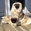 A pug being fancy