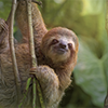 an inquisitive sloth