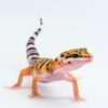 A young leopard gecko standing attentively