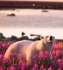 polar bear in a flower field