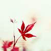 (red maple leaf on off-white background)