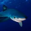 Curious blue shark