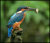 A kingfisher perches on a branch