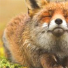 a happy rl red colored fox