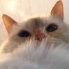 a very fluffy white cat looking down at the camera