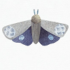 Grey and blue moth against a white background