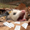 Picture of a gaping possum with a pen behind its ear and papers strewn about it