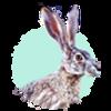 a profile shot of a jackrabbit against a pastel turquoise circle
