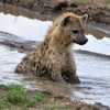a spotted hyena sitting in a muddy creek, looking slightly perplexed at its current situation