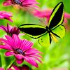 Beautiful green butterfly. (: