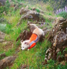 dog in safety vest running down hill of wildflowers
