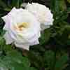 GC's white rose