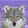 A regal wolf with a field of lilacs in the background.