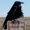 Raven perched on a sign. Personal photo.