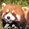 Eleven Red Pandas