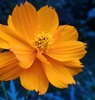 'Radiant French marigold'