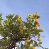Image of a lemon tree against a bright blue sky.