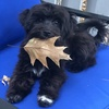 picture of a dog lying on a chair with a leaf in its mouth
