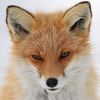 An orange and white fox gazing sleepily at the viewer