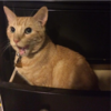 An orange tabby sits inside an open dresser drawer, looking at the camera at a 3/4 angle from the left. His mouth is wide open as if licking or yawning.