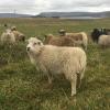 some shetland sheep