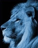 Blue lion profile