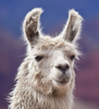 Hippie llama in front of mountains