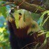 A red panda eating