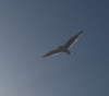 A seagull flying against a blue sky.