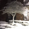 Snow-covered tree, at night, illuminated by a streetlight