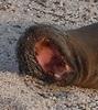yawning sea lion