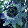 A passionflower tinted blue and purple.